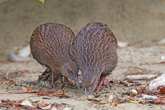 Weka (Alan Gutsell) Tags: weka rail ulva island newzealandbirds newzealand wildlife wildlifephoto endemictonewzealand stewart groundbird flightless alan naturephoto canon camera