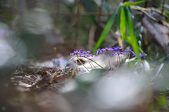 20190321-DS7_1157.jpg (d3_plus) Tags: bokeh aiafzoomnikkor80200mmf28sed d700 thesedays wildflower 日常 walking 城山 ボケ 相模原 望遠 カタクリ 自然 景色 dogtoothviolet sagamihara trekking 神奈川県 sky telephoto 山野草 風景 japan erythroniumjaponicum ニコン トレッキング nature dailyphoto ハイキング nikon nikond700 kanagawa flower nikkor shiroyama 8020028 dogtoothvioletvillage bloom 植物 80200mmf28d 散歩 80200mmf28af plant 花 scenery 80200mmf28 daily 城山かたくりの里 hiking 80200 日本 tele 80200mm かたくりの里 空
