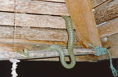 Red-tailed green ratsnake (Gonyosoma oxycephalum), Hat Khom Beach, Ko Pha Ngan (Niall Corbet) Tags: thailand hatkhom beach kophangan redtailedgreenratsnake gonyosomaoxycephalum tropical island