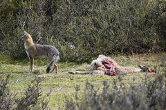 Staying alert (SilkeBritt) Tags: patagonia chile torresdelpaine