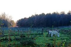 Grazing donkeys (BernardusM) Tags: donkeys drenthe eveningsun nature landscape