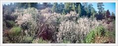 pinhole 6x17, blooming almonds, La Palma (Dierk Topp) Tags: 6x17 bäume realitysosubtle6×17 almendros almonds analog canaryislands islascanarias kodak lapalma pano panorama pinhole portra400 spring trees wald wood