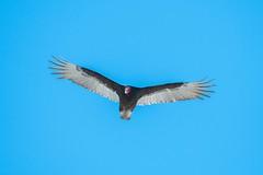 Urubu A Tête Rouge / Turkey Vulture (ALLAN .JR) Tags: urubu têterouge turkey vulture rapace oiseau bird nature wildlife ilestbernard nikon ciel sky