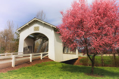 Sweet Home Blossoms (Ian Sane) Tags: ian sane images sweethomeblossoms tree pink blossoms weddle covered bridge restored 1990 ames creek sweet home oregon architecture canon eos 5ds r camera ef1740mm f4l usm lens
