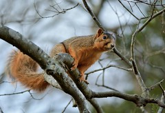 Eastern Fox Squirrel by Jackie B. Elmore 12-28-2018 Warren Co. KY (jackiebelmore) Tags: sciurusniger easternfoxsquirrel squirrel bowlinggreen warrencounty kentucky nikon7100 tamronsp150600f563 jackiebelmore