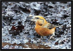 CROSSBILL {m} (PHOTOGRAPHY STARTS WITH P.H.) Tags: crossbill forest dean nikon d500 500mm afs vr