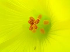 DEEP YELLOW (Pedro Muñoz Sánchez) Tags: flor pistilos amarillo oxalis pescaprae