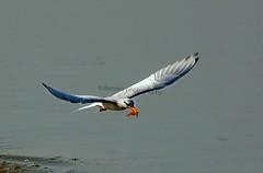 110638008 (TARIQ HAMEED SULEMANI) Tags: sulemani tariq tourism trekking tariqhameedsulemani winter wildlife wild birds nature nikon