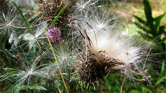 Thistle Dancers (Mary Faith.) Tags: thistle seed scottish