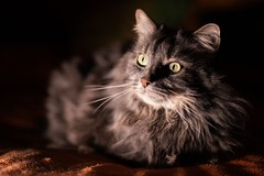 Loki en couleur (uluqui) Tags: canon 6d sigma 50mm cat animal portrait kitty lowkey mainecoon color