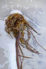 Flotsam (skipmoore) Tags: ocean kelp brach sand