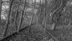 When love takes over. (Ian Emerson (Thanks for all the comments and faves) Tags: disused sidings overgrown trees willow leaves tracks railway blackandwhite nature leicestershire coalville mantlelane naturereserve canon6d outdoor rusty abandoned industrial daysgoneby history
