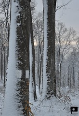 Trees under snow on Medvednica Mountain (Ivica Pavičić) Tags: trees mountain medvednica croatia snow winter nature natural cold