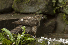 _MG_6485 Sparrow Hawk (Dave @ Catchlight Images) Tags: nature wildlife raptor canon hawk sparrow doves collared garden