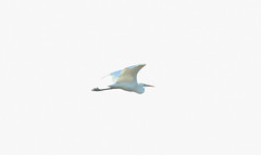 Great white egret Ardea alba (Stuart Carlton) Tags: greatwhiteegret ardeaalba birds bif egrets rspblangfordlowfields nottiinghamshire canon500mmf4 canon7d2