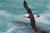 Black-browed Albatross (Tim Melling) Tags: thalassarche melanophris blackbrowed albatross falkland islands timmelling