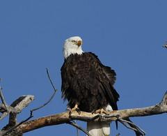 Bald Eagle (fethers1) Tags: rockymountainarsenalnwr rmanwr rmanwrwildlife coloradowildlife bird eagle baldeagle raptor