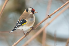 Le plus beau profil. (DorianHunt) Tags: birds bokeh backyard servion switzerland february 2019 nikond500 sigma 150600mm goldfinch