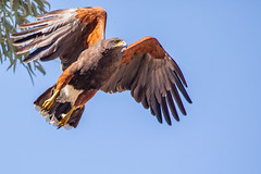 Harris Hawk Flight (gilamonster8) Tags: beak natuesbest sigma fly flickr animal harrishawk feather 150x600 wildlife flight ngc bird naturetop sky birdofprey eos raptor 5dmarkiv arizona
