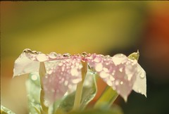 Droplets on a Flower (Ray Cunningham) Tags: droplets flower naples florida water