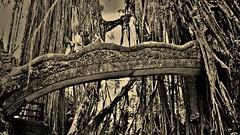INDONESIEN, Bali , unterwegs in Ubud , im Affenwald , Banyanbäume, Affen und Skulpturen, 17932/11154 (roba66) Tags: bali urlaub reisen travel explore voyages rundreise visit tourism roba66 asien asia indonesien indonesia insel island île insulaire isla ubud affenwald padangtegal monkeyforest monkey affen javaneraffen makaken macaca wild macaque balinese longtailed tier tiere animal animals creature jardin giardini park nature natur naturalezza baum bäume tree trees arbes arboles alberi wald forest brücke bridge banyanbaum sepia