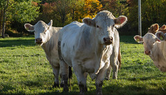 Cows (Yvonne L Sweden) Tags: autumn sweden cows livestock fall curious cow