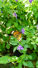 2019-02-11_12-50-35_ILCE-6500_DSC02849 (Miguel Discart (Photos Vrac)) Tags: 2019 85mm animal animalphotography animals animalsupclose animaux butterfly chiangmai e18135mmf3556oss fleurs flowers focallength85mm focallengthin35mmformat85mm holiday ilce6500 iso500 nature naturephotography papillon pet sony sonyilce6500 sonyilce6500e18135mmf3556oss thailand thailande travel vacances voyage
