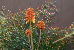Aloe blooms (Monkeystyle3000) Tags: orange aloe blooms desert plant