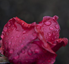 Big Red (dleany) Tags: 100mmf28l 5dmkii macro red rose raindrops