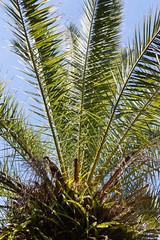 IMG_8434 (jaglazier) Tags: 121318 2018 chile december easterisland ferns palmtrees palms plants ranokau trees copyright2018jamesaglazier valparaisoregion