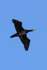 Phalacrocorax carbo (Great cormorant, Grand cormoran) (Sophie Giriens) Tags: phalacrocorax carbo grand cormoran great cormorant