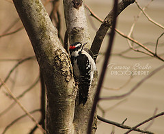 Woodpecker (Tammy Borko Photography) Tags: tammyborkophotography tammyborko manassasvirginia mammal wildlife wildbirds woods bird birdphotography outdoors northeasternusa northernvirginia downywoodpecker tree feathers
