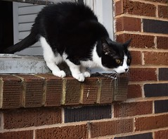 Tina makes a hair-raising jump... (rootcrop54) Tags: tina tiny female tuxedo cat openwindow drama jump neko macska kedi 猫 kočka kissa γάτα köttur kucing gatto 고양이 kaķis katė katt katze katzen kot кошка mačka gatos maček kitteh chat ネコ
