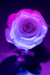 still-life 19-02-2019 001 (swissnature3) Tags: stilllife macro flowers light rose