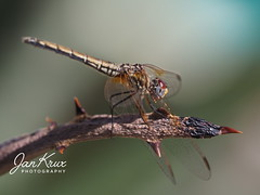 Dragonfly (Jan-Krux Photography) Tags: dragonfly libelle tier animal insect insekt fliegen fluegel wings colorful farbig tierwelt fauna olympus omd em1mkii southafrica suedafrika westrncape westkap afrika africa