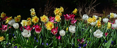 Tulips & Daffodils (davidwilliamreed) Tags: tulips daffodils nature plants blooms blossoms colorful vividcolor atlantabotanicalgarden atlantaga fultoncounty spring springtime