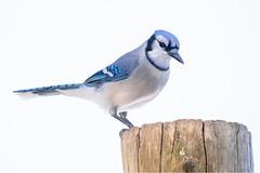 Blue Jay 03 (judymtomlinson) Tags: bird birdwatching birdphotography birdphotographer birdsofontario wildlifephotography wildlifephotographer wildlife nikonphotography nikond7200 bluejay winter fanshaweconservationarea