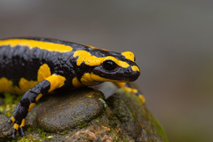 salamandra de fuego (moments in nature by Antje Schultner) Tags: salamander salamandra salamandre de feu fuursalamander feuersalamander amphibien deutschland badenwürttemberg