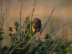 Song Sparrow (stonebird) Tags: songsparrow ballonawetlandsecologicalreserve areaa march img1691