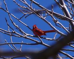 TIMG27943 (Timothy Harry David Gallant) Tags: pentaxks2 stratfordontario backyardphotography northerncardinal brightredbird beautifulbird