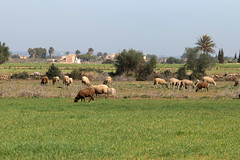 IMG_1046 Ovejas en Mallorca (Fernando Sa Rapita) Tags: baleares canon canoneos coloniadesanjordi eos200d mallorca sessalinesdeestrenc tamron tamron150600 campo ganado granja ovejas sheep