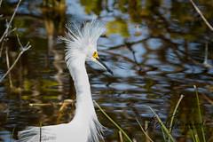 Snowy Egret (Les Greenwood Photography) Tags: bird snowy egret white water nature wildlife refuge3 merrit island florida