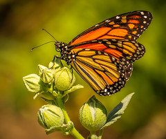 """New year. New hope. New beginnings."" The Regal Monarch Butterfly (Cathy Lorraine) Tags: california ""sanjuancapistrano"" monarch butterfly beautiful macro nature outdoors new beginnings hope newyear coth coth5"