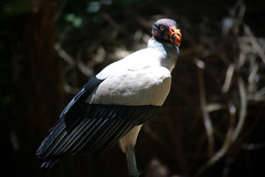 King Vulture (peter_a_hopwood) Tags: king vulture brazil sony a99 december 2018 foz iguacu