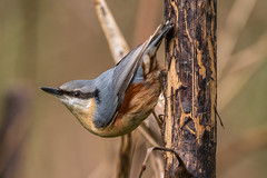 Nutty the Nuthatch (sean4646) Tags: red