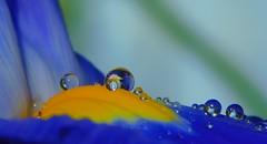 Purple Lily with raindrops (cami.carvalho) Tags: lily lírios raindrops reflections reflexo gotas chuva