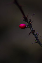 winter - looking for the colours (iwona.kilichowska) Tags: macro closeup nature colors colour plant red composition dof winter naturephotography