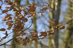 DessicatedBeech (Tony Tooth) Tags: nikon d7100 nikkor 105mm leaves deadleaves beech beechleaves copper countryside nature heathcote derbyshire