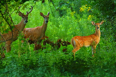 """***  We three  *** (Darrell Colby """" You Call The Shots """") Tags: we three deer fawn beautiful londonontario darrellcolby"""