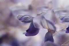 la glycine (isabelle 31) Tags: fleurs glycine mauve flouartistique